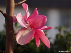 Magnolia Aurora.