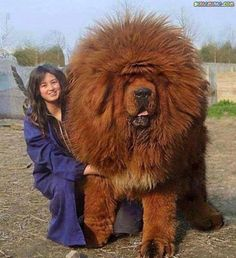 One of the largest dog breeds - Tibetan Mastiff ~ Holy Moly!