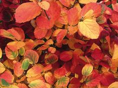 Witch alder, or large fothergilla, is a suckering deciduous shrub that grows in a rounded mound. Noteworthy for turning brilliant reds, oranges and yellows, often all colors on the same plant, in fall. It smells like delicate honey.