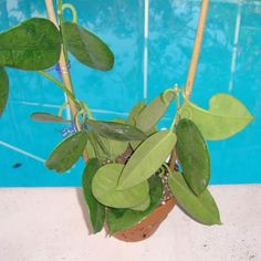 Eriostemma USDA 354242 $$$$ IML 0237 Hoya USDA 354242 - $20.00 : Hoya Plants and Cuttings