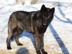German Shepherd Wolf Mix | My future dog :) German Shepherd Wolf mix | Mixed breed Dogs/Pups