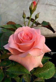 Fotos De Rosas Preciosas Latest Preciosas Flores Rosas Con El