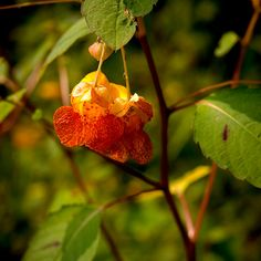 Hey, I found this really awesome Etsy listing at https://www.etsy.com/listing/221836858/red-jewelweed-wild-flower-archival