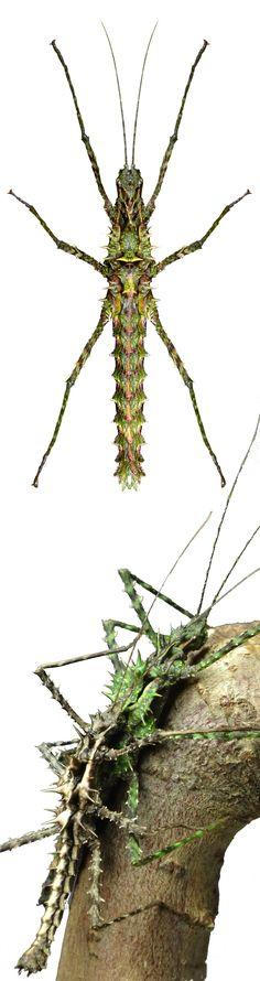 Brockphasma spinifemoralis, female, and pair copulating