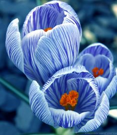Purple and white striped Crocus by Sophie Shaw