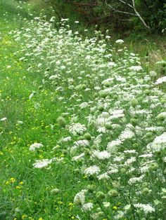 Legend say Queen Anne's Lace will thrive if it is planted in the garden of a woman who is true to herself.