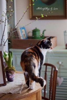 Beautiful Calico girl