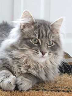 Cunning picture of Siberian forest cat Pretty Cats, Beautiful Cats, Animals Beautiful, Cute Animals, Siberian Forest Cat, Siberian Cat, Kittens Cutest, Cats And Kittens, Cats Meowing