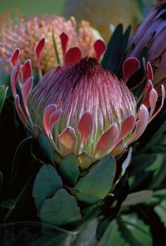 Protea Flower, joint favourite flower with orchids. These are just gorgeous. Flor Protea, Protea Art, Protea Flower, Unusual Flowers, Rare Flowers, Amazing Flowers, Beautiful Flowers, Cut Flowers, Arte Floral