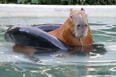 …so you'll definitely need some good pool toys. | After Looking At These Photos You Will DEFINITELY Want A Capybara