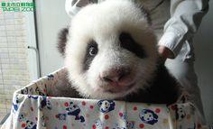 Yuan Yuan's daughter (nicknamed Yuanzai) at the Taipei Zoo in Taiwan on October 8, 2013. © Taipei Zoo.
