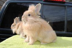 conejos-cabeza-de-leon.jpg (1600×1071)