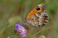 BugsAlive posted a photo:  Plateau des Gras, Bidon, Ardèche, France  Family : Nymphalidae  Subfamily : Satyrinae  Species : Pyronia cecilia  This species is found in central and southern Europe, parts of North Africa and continues eastwards to Turkey and Saudi Arabia. It is superficially quite similar to the Gatekeeper (P. tithonus ) that is found further north and the Spanish Gatekeeper (P. tithonus ) but there are a number of differences. These include a different shaped male sex-brand and…