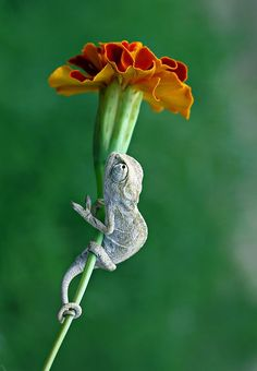 hanging on chameleon