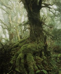 "ah, yes, my fave tree of all time :-) in QLD we call them *Antarctic Beech Trees* (Nothofagus Cunninghamii I think) this photo taken by Peter Dombrovskis ""Myrtle Tree in Rainforest at Mount Anne"" Southwest Tasmania 1984"