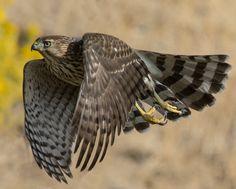 Cooper's Hawk - Falco di Cooper (Accipiter cooperii)