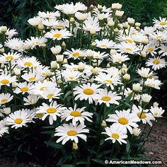 Shasta Daisy, Alaska is the most famous cultivar of this beautiful European wildflower.  Large white flowers perfect for cutting. (Leucanthemum superbum)