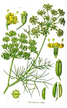How to Grow and Harvest Fennel