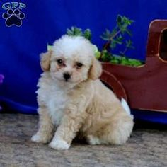 Bich-poo Puppy in Coatesville, PA Free Crochet Rose Pattern, Greenfield Puppies, Bichon Frise, Puppies For Sale, Poodle, Dogs, Animals, Animales, Animaux