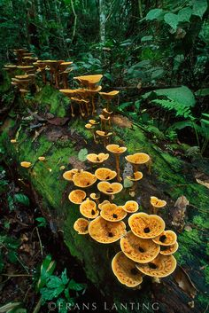 **Mother Nature's way of feeding her forests. Mushrooms, moss and and old log work so well together.   Amazon rainforest ~ Cup fungus on log, Manu National Park, Peru