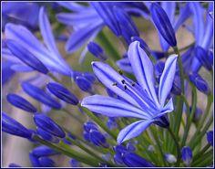Zdenka Rosecká : Agapanthus ( Modrá lilie)