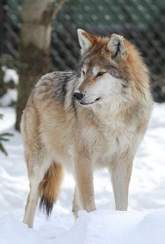 Anna the Mexican Gray Wolf at the Endangered Wolf Sanctuary of St. Louis Missouri. Been there! Seen her!