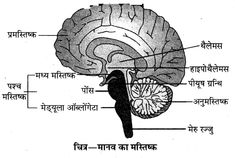 RBSE Solutions for Class 10 Science Chapter 2 मानव तंत्र Gk Knowledge, General Knowledge Facts, Circulatory System, Respiratory System, Ovarian Follicle, Parotid Gland, Human Body Facts, Hindi Medium, Salivary Gland