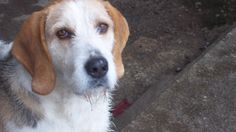 Welsh Hound / Welsh Foxhound #Hunting #Dogs