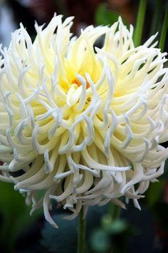 Spider Mum - is part of the daisy family of plants, which also includes zinnias and marigolds. Spider mums, a type of chrysanthemum, have distinctive flowers that are often used in floral arrangements and can be grown in pots for easy display indoors. Unusual Flowers, Amazing Flowers, White Flowers, Beautiful Flowers, Asian Flowers, Dahlia Flowers, Beautiful Gorgeous, Spider Mums, Trees To Plant