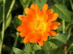 Kehäkukka, Calendula officinalis - Kukkakasvit - LuontoPortti