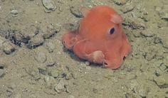 Pulpo enano (Opistoteuthis adorabilis) No tiene todavía nombre formal por parte de la comunidad científica, y se sabe muy poco sobre él. La doctora, Stephanie B., investigadora de MBARI, ha afirmado que: 'Como alguien que se dedica a describir especies, se me ocurrió el nombre de O. ADORABILIS, porque son muy monos´. Algunos huevos de esta especie están siendo incubados en el MBARI. Poco a poco se descubrirá la importancia que tiene este pequeño, en el ecosistema de las profundidades del…
