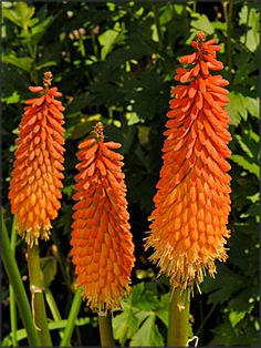Kniphofia Flamenco - tough and hardy plants with blooms a beacon for hummingbirds! Easy to grow! Hardy Plants, Allium, Drought Tolerant, Sparklers, Cut Flowers, My Flower, Perennials, Planting, Gardening