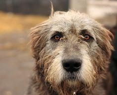 Irish Wolfhound - love, love!!!