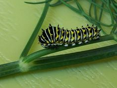 A swallowtail caterpillar.
