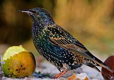 Starling (Sturnus vulgaris) Europe and Asia