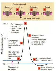 Action potential mcat pinterest action anatomy and neuroscience action potential ccuart Image collections
