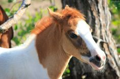 All sizes | Assateague Pony foal | Flickr - Photo Sharing!