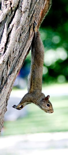 The squirrels outside my building do this all the time when they eat their nuts.