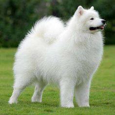 samoieda_cachorro
