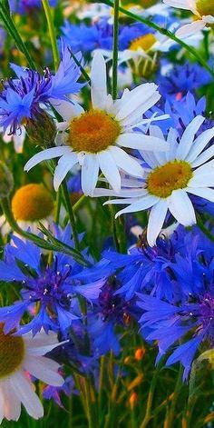 Food Runner Tips Percentage Flowers Nature, Exotic Flowers, Amazing Flowers, Blue Flowers, Wild Flowers, Beautiful Flowers, June Flower, My Flower, Flower Art