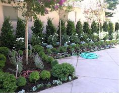 Repetition. The boxwoods in the foreground can be trimmed to remain individual, or trained to grow as a hedge. Boxwoods tolerate pruning like champs.