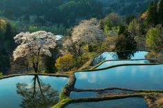 Rice terrace and sakura trees..... This place is in Tokamachi city Niigata pref. Japan