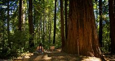 Looking With A Lady With Braids At green woods of Henry Cowell Redwoods State Park. The huge tree called Big Ben, which is a midsize redwood at the intersection of the Big Ben and Lost Empire trails. It's the largest in a cluster of what appears ...  #LookingWith #BigBen #Redwoods #HenryCowellPark #SantaCruz #CA #USA