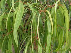 Angophora costata. Como NSW