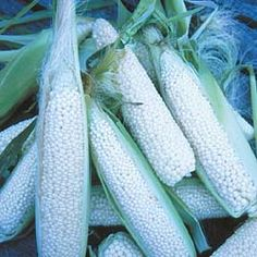 how to grow zea mays everta