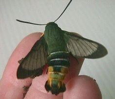 Gardenia bee hawk moth (Cephonodes kingii)