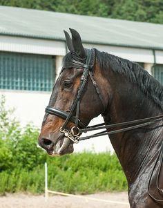 Latvian Warmblood Dayrons - photos - equestrian.ru