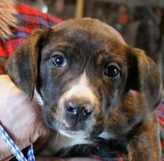 Gloss is an adoptable Pit Bull Terrier Dog in Lexington, MO. Gloss is a very friendly and adorable brindle and white Pitbull mix puppy. We will neuter him when he is old enough. Gloss is very loving t...