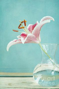 'viva la vida I' by Iris Lehnhardt on check out the card and iPhone case, too! Love Flowers, Beautiful Flowers, Iris, Pink Turquoise, Aqua, Buy Prints, Beautiful Artwork, Sell Your Art, Online Art
