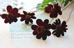 ChocolateCosmos コスモスの花言葉は。。変わらぬ愛